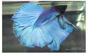 Steel Blue Halfmoon Male