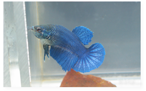 Royal Blue Halfmoon Female