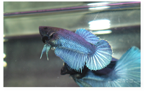 Steel Blue Halfmoon Female