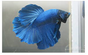 Royal Blue Halfmoon Male